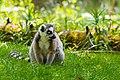 Lemur (36614798365).jpg