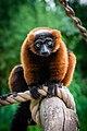 Lemur (36615035515).jpg