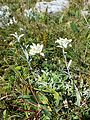 Leontopodium alpinum subsp. alpinum sl3.jpg