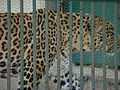 Leopard in a zoo.jpg