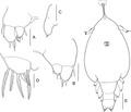 Lepeophtheirus elegans parasite130014-fig5.tif