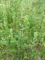 Lepidium perfoliatum sl19.jpg