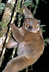 Image of the lemur