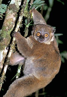 Small-toothed sportive lemur Species of primate from Madagascar