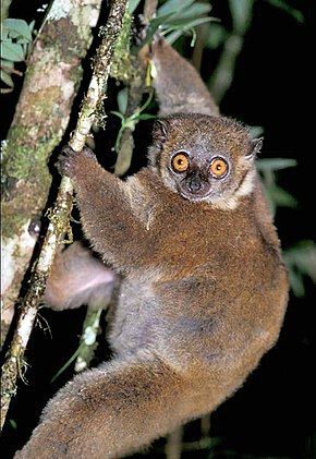 alt=Description de l'image Lepilemur microdon 002.jpg.