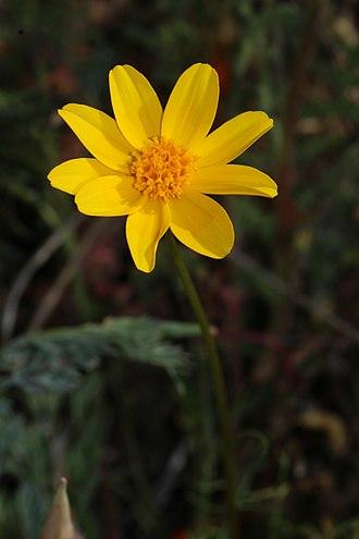 Coreopsis bigelovii - Image: Leptosyne bigelovii 7749