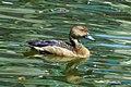 Lesser whistle duck (8708732891).jpg