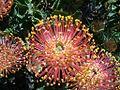 Leucospermum cordifolium flower.JPG