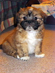 Male Lhasa Apso puppy, age 8 weeks