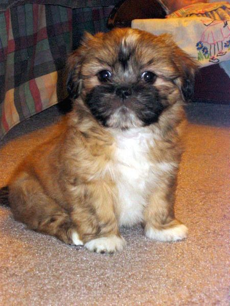Cute Lhasa Apso dog puppy
