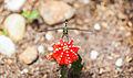 Libélula (Orthetrum sabina) sobre un Gymnocalicium mihanowichii, Ciudad Ho Chi Minh, Vietnam, 2013-08-14, DD 10.JPG