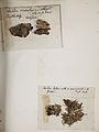 Lichenes Helvetici pars altera 006.jpg