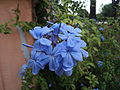 Light blue flowers in Rome.JPG