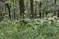 Ligularia dentata 09.jpg