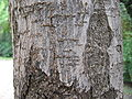 Ligustrum japonicum 03.jpg