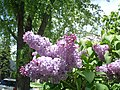 Lilac's blossoming, smells great (8203348512).jpg