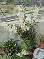 Lilium auratum-IMG 6040.jpg