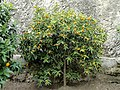 Limonaia del Castel - DSC02149.JPG