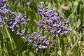 Limonium vulgare baie-authie 80 13072007 10.jpg