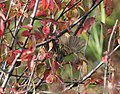 Lincoln's Sparrow, Roselle Park, 30 September 2013 (10119115313).jpg