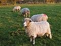 Lincolnshire Longwool ewes - geograph.org.uk - 1068700.jpg