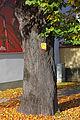 Linde beim Stadtamt Zwettl Stamm 2014-10 NDM ZT-167.jpg