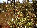 Lindera subcoriacea fruit.jpg