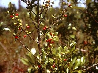 Lindera subcoriacea - In fruit