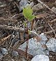 Lindera triloba (seedling).jpg