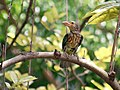 Lineated Barbet- Food for Juveniles- I2- Kolkata IMG 2641.jpg