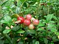Lingonberries.jpg