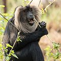 Lion Tailed Macaque at National Zoological Park Delhi.jpg