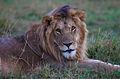 Lion at Maasai Mara National Reserve Kenya.jpg