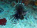 Lionfish BVI.JPG