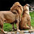 Lions in love.JPG
