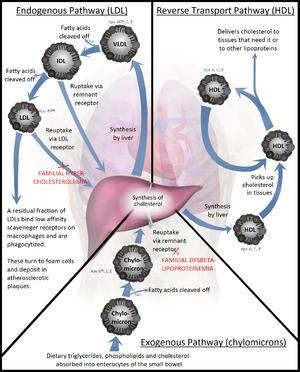 Lipoprotein - Simplified flowchart showing the essentials of lipoprotein metabolism.