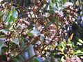 Litchi chinensis flowers 01.JPG