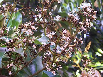 Lychee - L. chinensis flowers