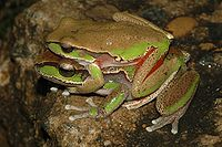 Litoria citropa in amplexus.jpg
