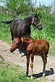 Little foal with mother - panoramio.jpg