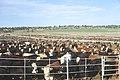 Livestock71.tif (38844423802).jpg