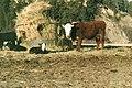 Livestock76.tif (25003472698).jpg