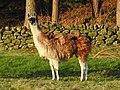 Llamas (32965636243).jpg