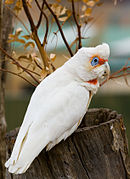 A white parrot with a crest and a red mask