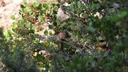 File:Long-eared chipmunk near Northstar California Resort, Sierra Nevada.webm