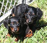 Longhaired Dachshund puppies.jpg