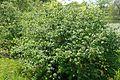 Lonicera xylosteum var mollis kz2.jpg