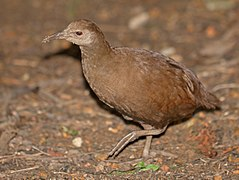 Lord Howe Woodhen 3.jpg