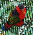 Lorius lory -Cincinnati Zoo-8d.jpg
