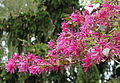 Loropetalum chinense var. rubrum - Morris Arboretum - DSC00257.JPG